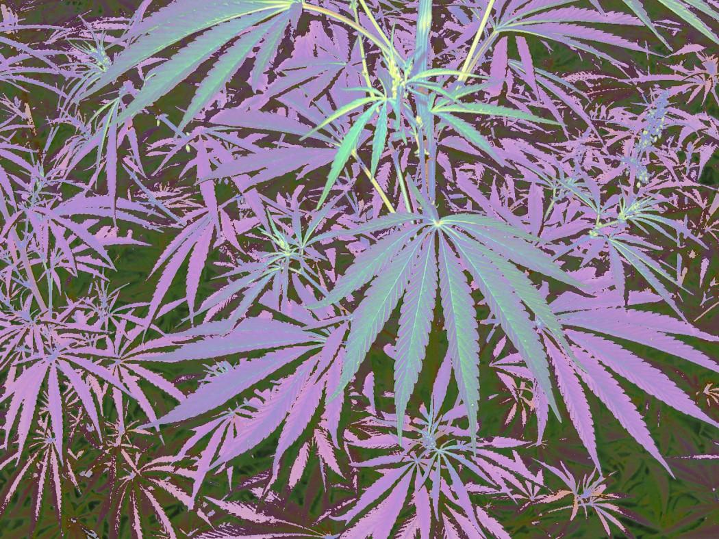 Cannabis_modificata
