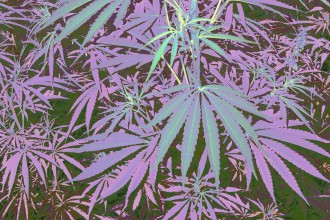 Cannabis_modificata